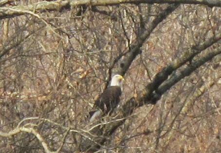 Bald Eagle Gunpowder Falls December 2014
