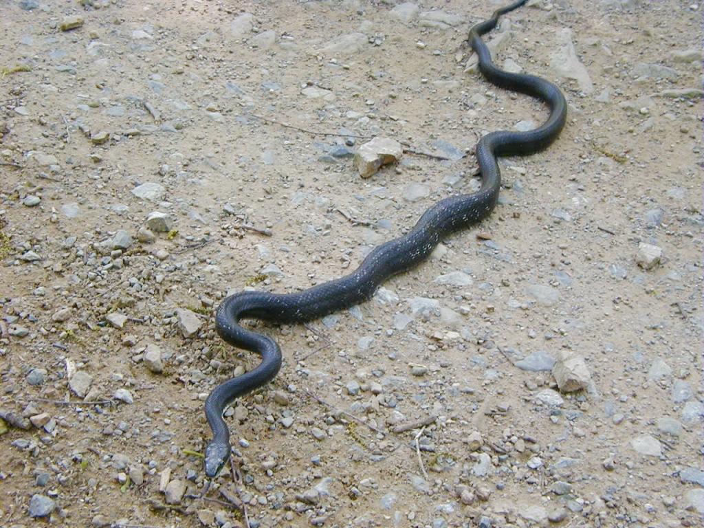 Rat Snake ORIGINAL
