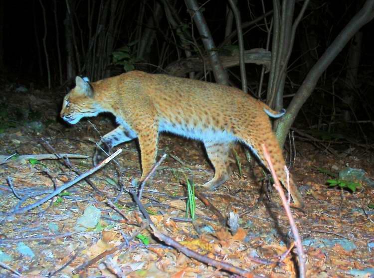 Bobcat_LynxRufus_Megatransect2008