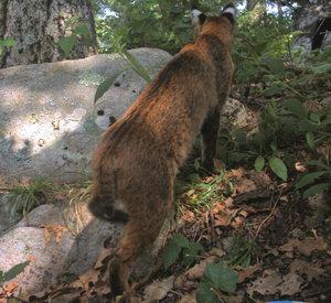 Bobcat_Megatransect_AT_2007