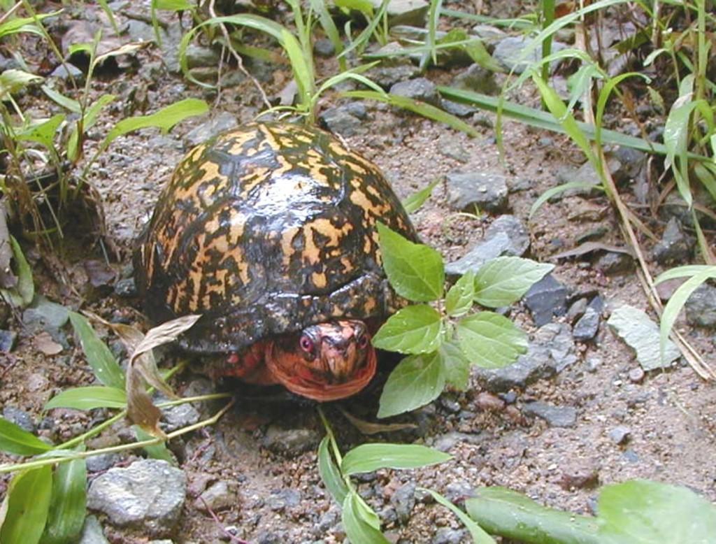 Box Turtle ENL Brown Gap Tr 8-23-03