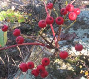 Mountain Ash Sorbus americana fruit2 AT Compton 171014