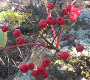 Mountain Ash Sorbus americana fruit2 AT Compton 171014