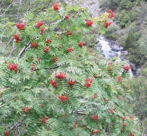 Mountain Ash_Pyrenees 150911