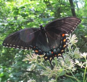 Swallowtail Black Female TigerThompsonWildllife 130802