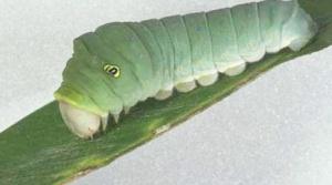 Swallowtail Eastern Tiger Larva