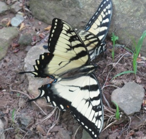 Swallowtail Tiger Mating3