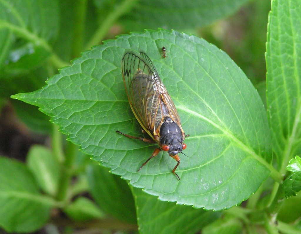 Cicada ColumbiaCrop 5-16-04