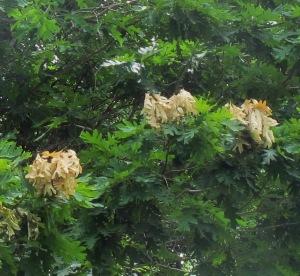 Cicada Tree effects WV 160619