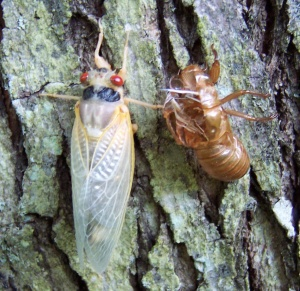 cicada_adult emergent 2004