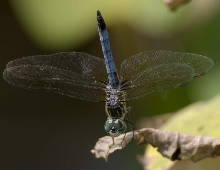 Dragonfly_BlueDasher_PachydoplaxLongipenis_DH