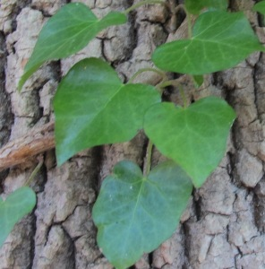 English Ivy Patapsco Leaves Dec2014