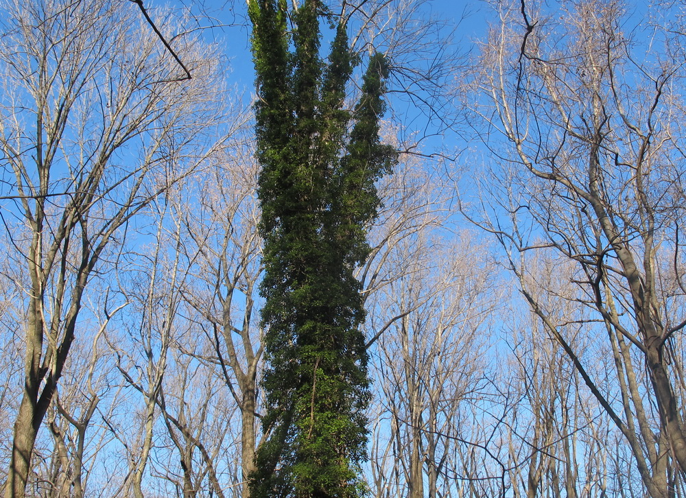 English Ivy Patapsco Tree Dec2014