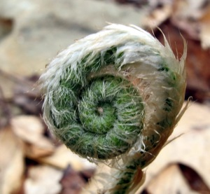 Fiddlehead_BuckRidge_120401