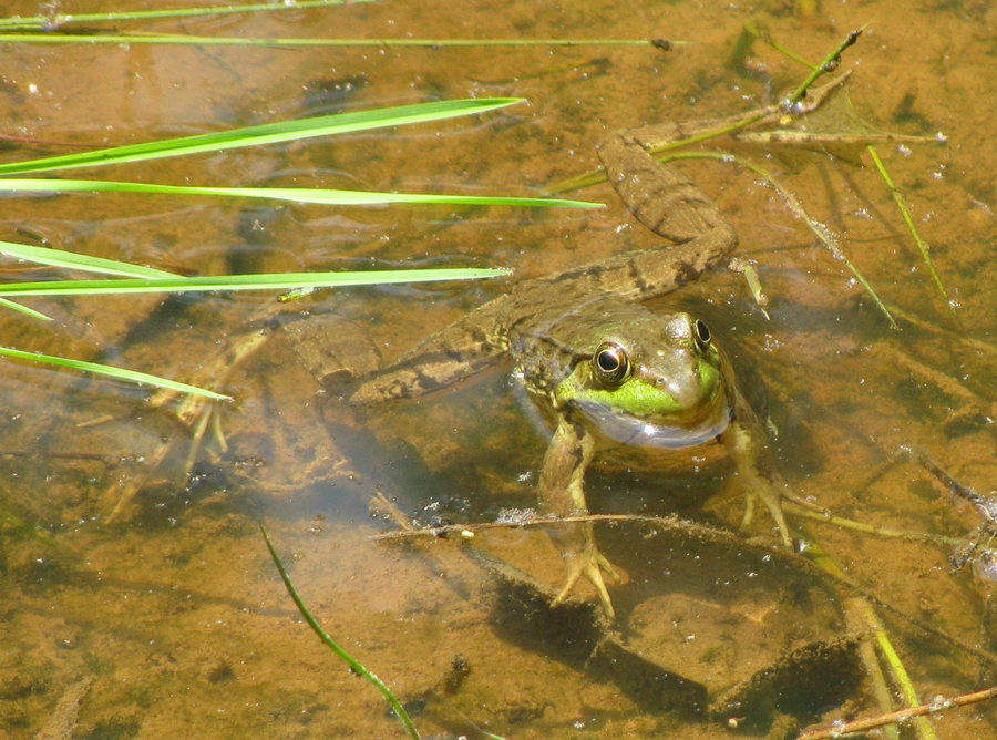Green Frog2 Seneca Creek 5 July 2014