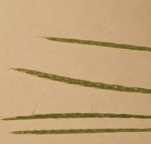 Japanese Stiltgrass seeds 170906