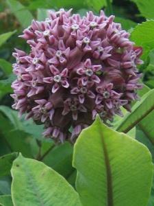 Milkweed Stromberg
