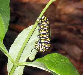 MonarchCaterpillar_oc_050821