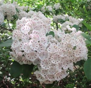 Mountain Laurel Bloom AT Roanoke 150606