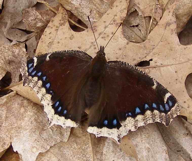 MourningCloak_DTundra_060316