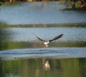 Osprey hunting - G. Barton