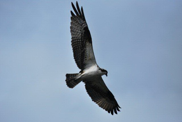 Osprey in Flight - G. Barton