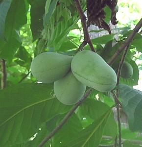 PawPaw Fruit1 C&0 7-9-04