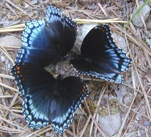 Puddling_Red-spotted Purple