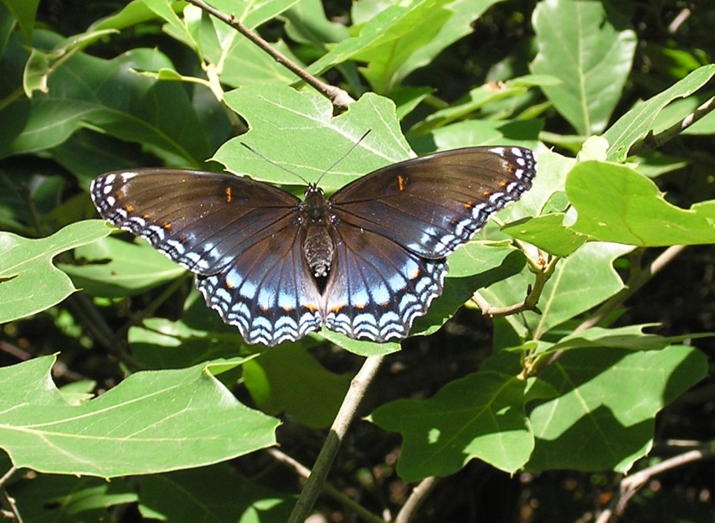 Red Spotted Purple Mill Mtn Tr 6-26-04