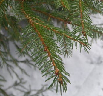 RedSpruce_Needles