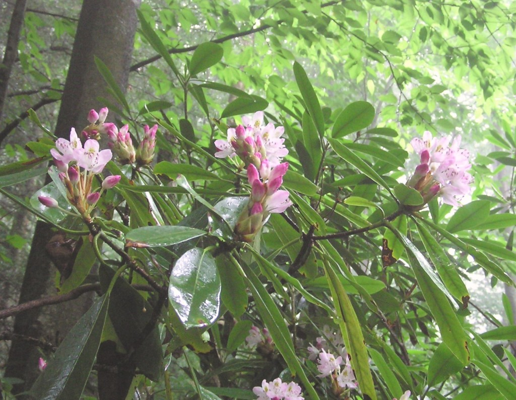 Rhododendron Red Creek TrCrop7-10-04