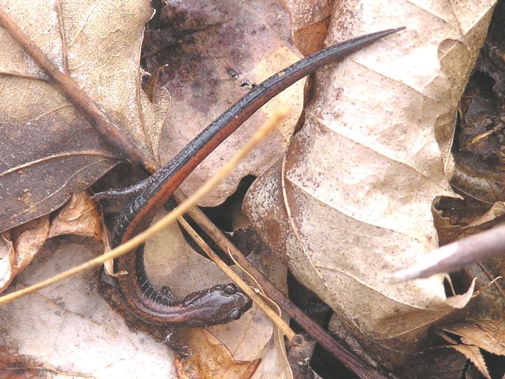 SalamanderRed-Backed2_Massa_Loop_Tr_3_27_04