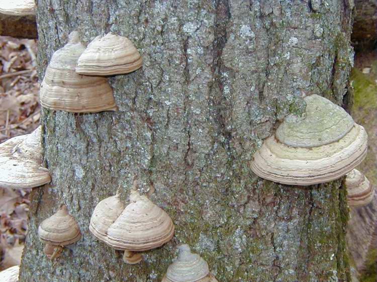 Tinder Polypore Grp White Oak Tr 11 Nov 03