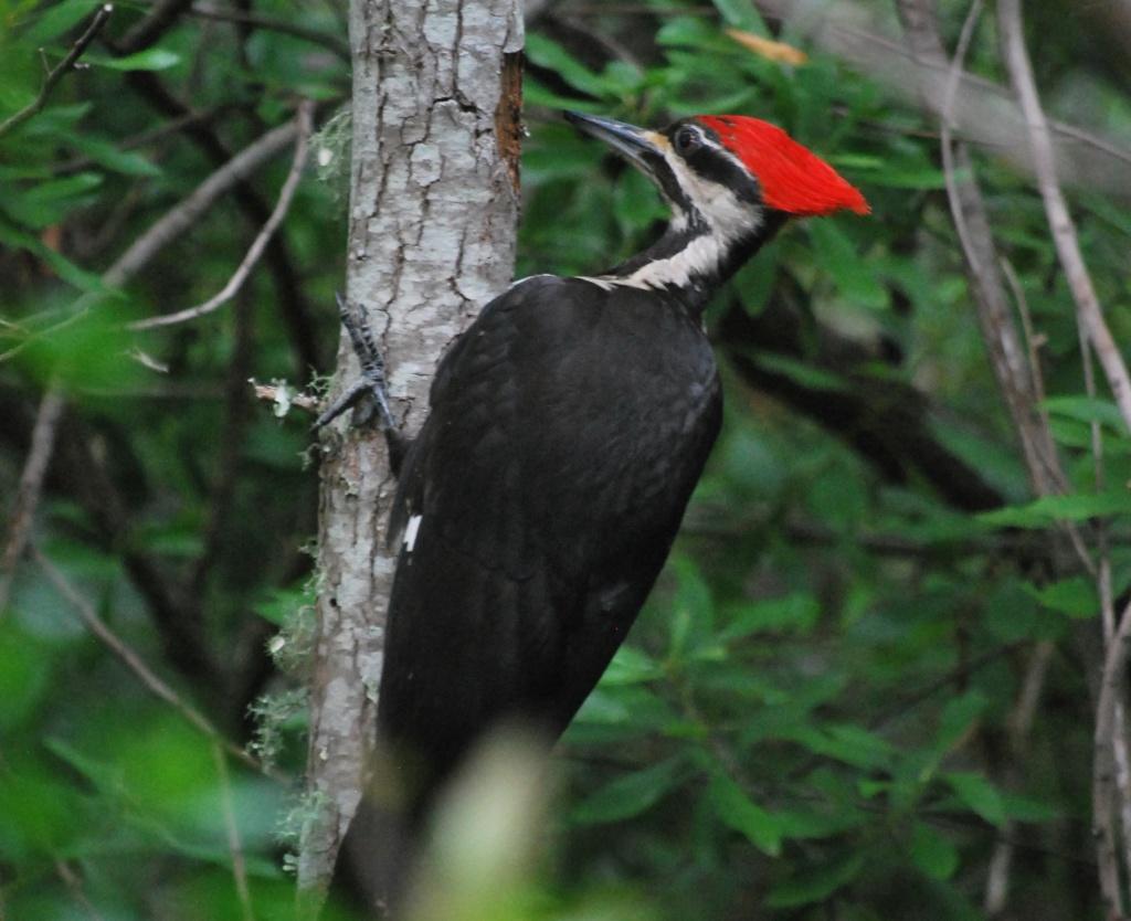 Woodpecker Pileated Gerry Sutton June 2013