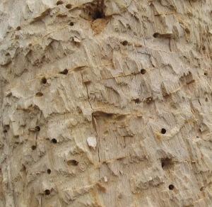 Woodpecker Tree_BuckRidge_120401