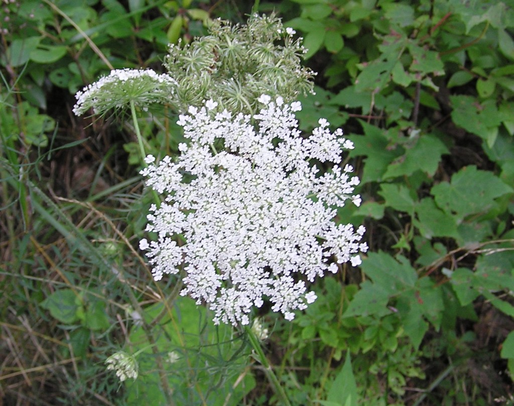 Queen Anne's Lace Lost City Road 8-7-04