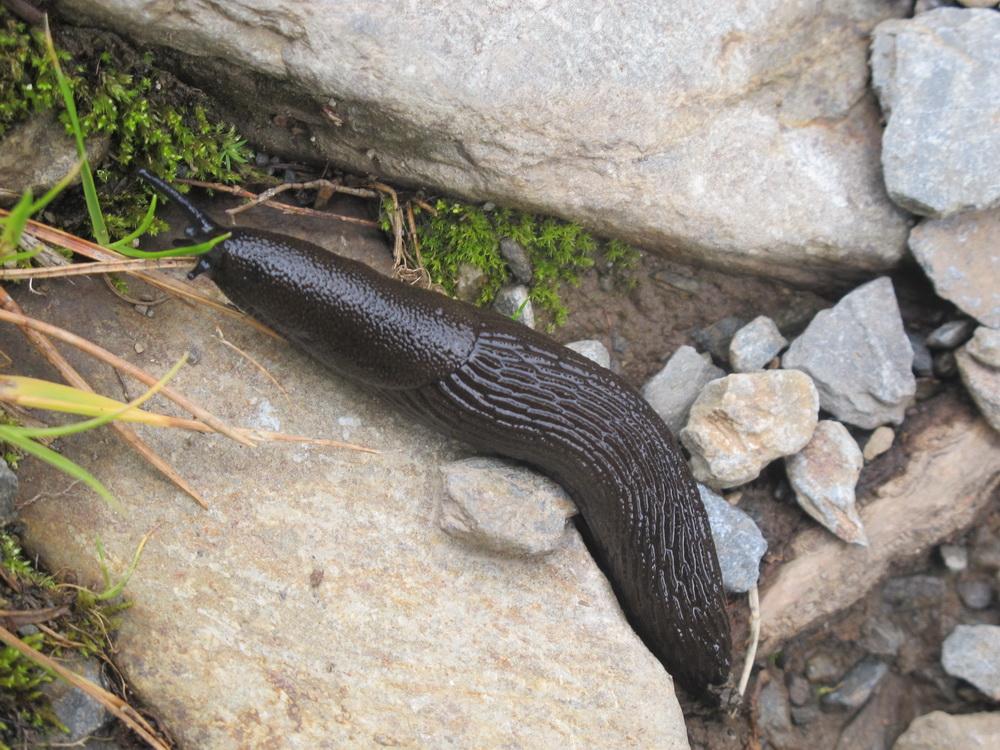 Slug Arion atri Pyrenees 150911