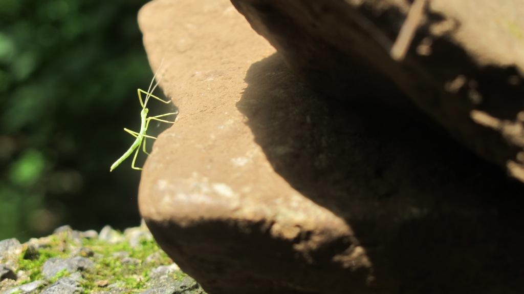 Walking Stick Juvenille AT 130816