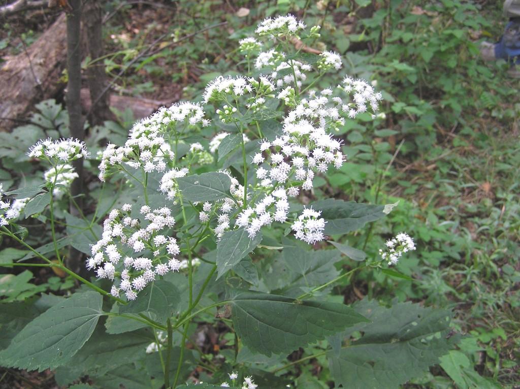 White Snakeroot Brown MTN Tr 9-4-04