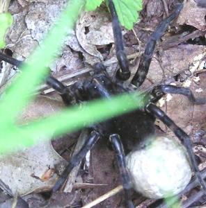 Wolf Spider Eggs Furnace Mtn 5-23-04