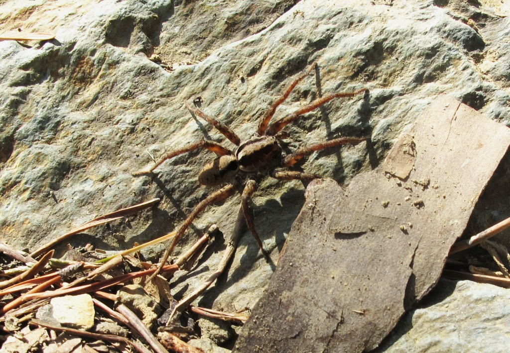 Wolf Spider White Oak Canyon 150321