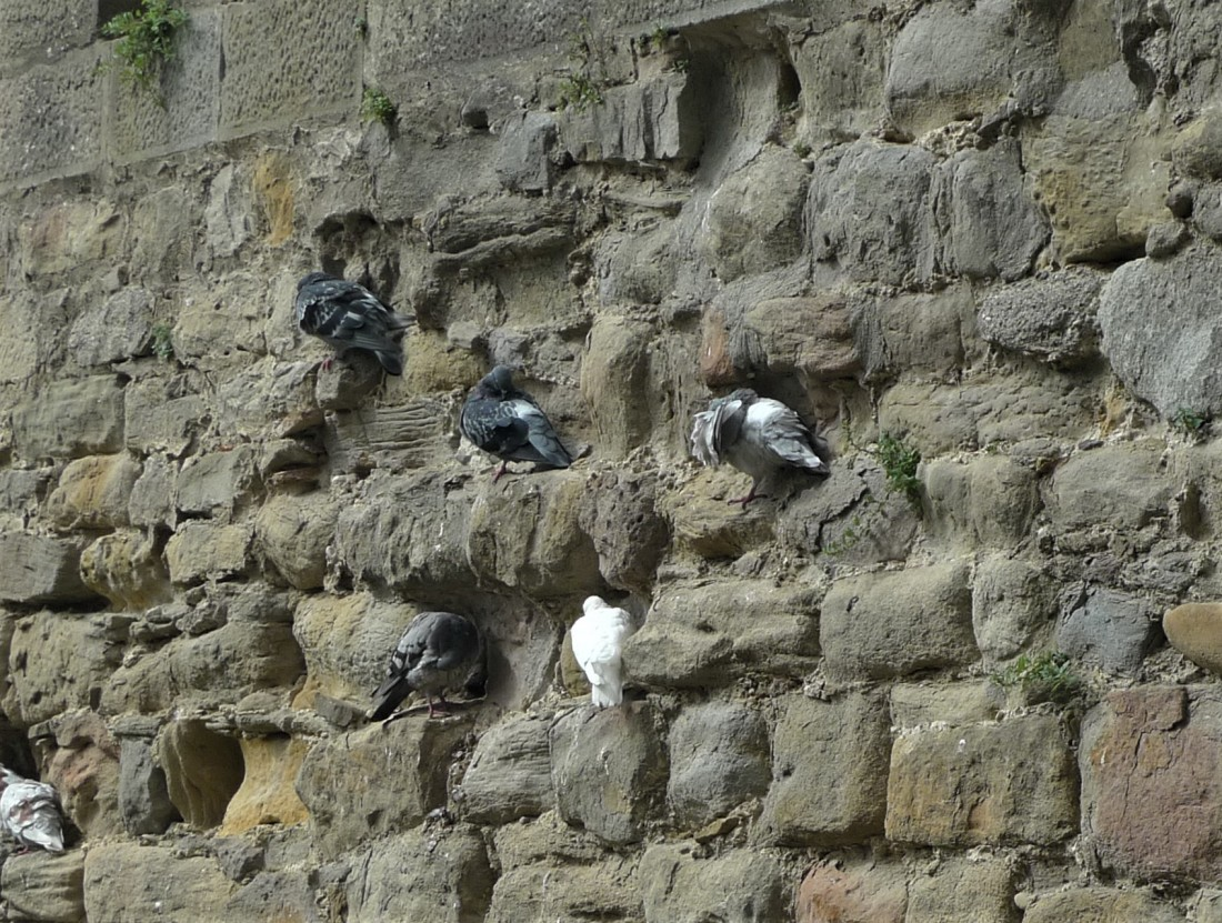 Rock Pigeon Carcassone France 2015 ENL