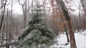 Woolly Adelgid Hemlock Regrowth White Oak 2012